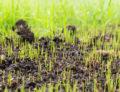 dormant seeding